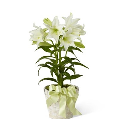 Easter lily giftsend interflora gifts onlineid1057808 igp easter lily negle Choice Image