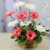 One Sided Basket of Assorted Pink & White Gerberas