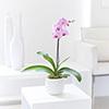 Pink Phalaenopsi Orchid